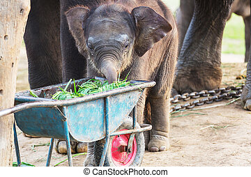 Elephant in Nepal - Baby elephant in Chitvan National Park,...