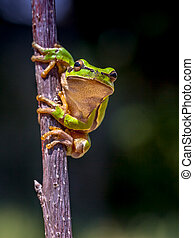European tree frog dark image - European tree frog (Hyla...