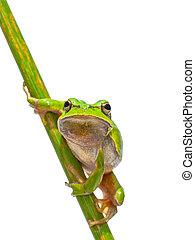 European Tree frog frontal diagonal - Green European Tree...