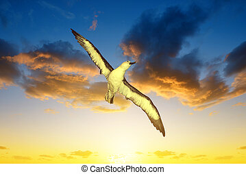 Wandering Albatross Diomedea exulans in flight at sunset