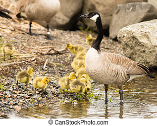Goose Mother Stands By Offspring Coming Ashore to Rest -...
