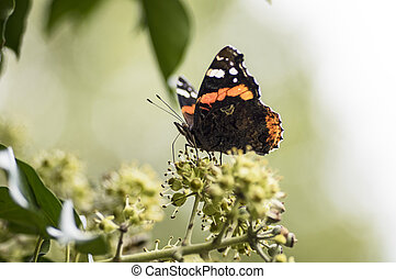 Red Admiral on blooming ivy - Red Admiral Butterfly