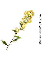 Pressed and dried goldenrod flower Isolated on white...