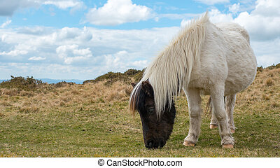 Pregnant Dartmoor Pony grazing - A wild pregnant dartmoor...