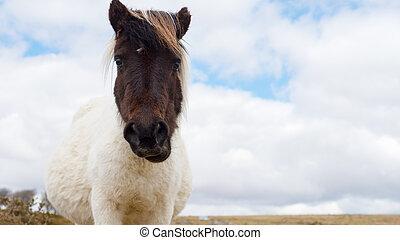 Pregnant Dartmoor Pony - A pregnant wild Dartmoor pony...