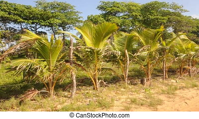 row of small coconut trees - small coconut trees blowing in...