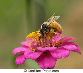 honey bee collecting pollen from pink flower in garden