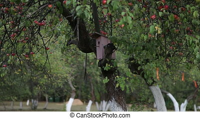 Apple tree with red apples