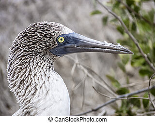 blue footed booby at Galapagos island of North Seymour -...
