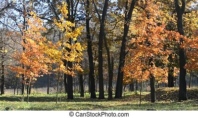 Beautiful leaf fall in autumn park or forest blown by wind -...