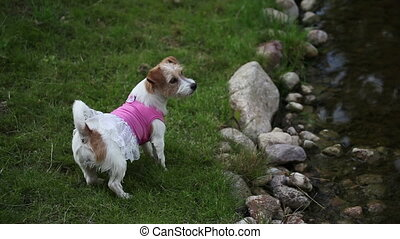 Jack Russell Terrier puppy in the dress running away