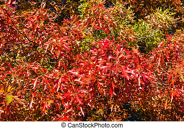 colorful oak tree leaves in autumn - closeup of colorful oak...