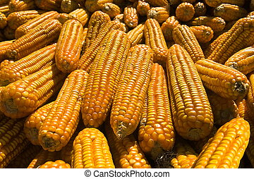 Corncobs - Pile of bright ripe yellow corncobs