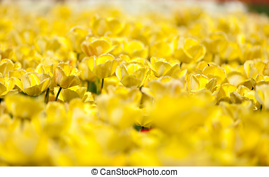 Yellow tulips in garden with blurred background