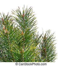 Isolated pine tree branches