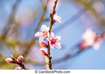 Peach blossom in spring in Germany - Peach blossom in spring...