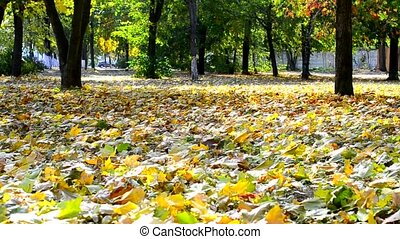 Yellow foliage blown by breeze in autumn with green trees -...
