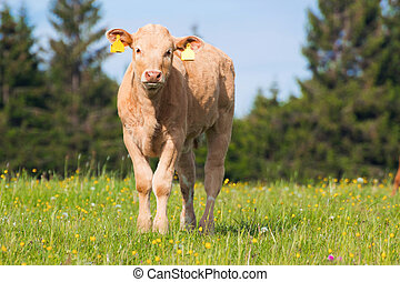young cow on pasture