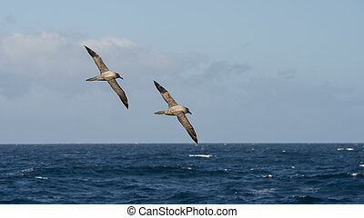 Light-mantled, sooty, Albatroz, flying.,