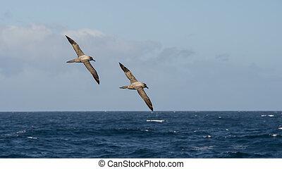 Light-mantled sooty Albatross flying - Light-mantled sooty...