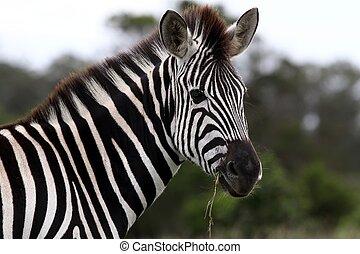 Zebra Portrait - Burchells or Plains Zebra with grass in its...