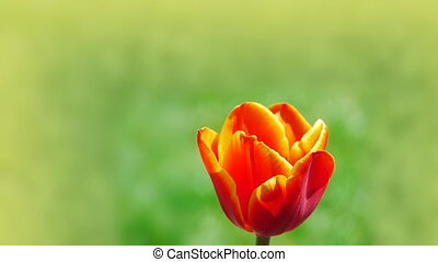 Tulip flower natural background - Beautiful live tulip on...