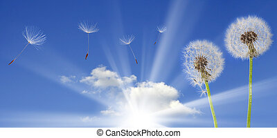 dandelions on blue sky