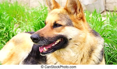 German shepherd dog lies on a green young grass hd