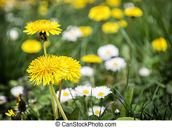 Yellow dandelions and ox-eye daisies in the meadow Close up...