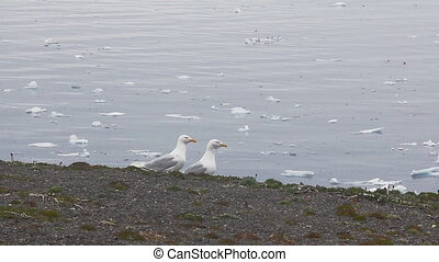 Pair of icy glaucos gulls amid drifting ice Novaya Zemlya...