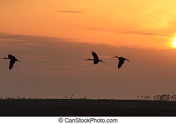 ibises flying at sunset, three birds flying in the sky...