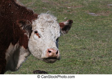 Hereford Cow (Head) - Hereford cow, face area