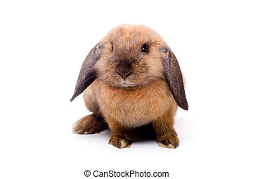 Lop-eared rabbit sitting - Pretty little lop-eared rabbit,...