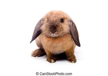 Lop-eared rabbit sitting - Pretty little lop-eared rabbit,...
