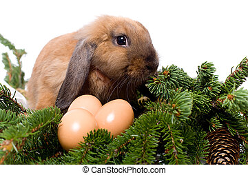 Lop-eared rabbit sitting in branches of fir-tree near three...