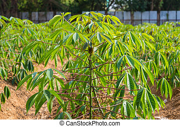 cassava in Thailand agriculture