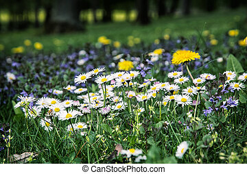 Ox-eye daisies and yellow dandelions in the meadow Close up...