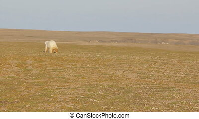 attacked polar bear runs away  being shot in his direction  pyrotechnic pistol 1