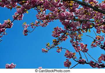 closeup of cherry blossoms with blue sky