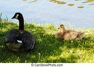 Canadian Goose with a Gosling