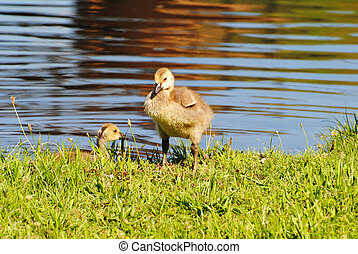 Two Young Canadian Goslings