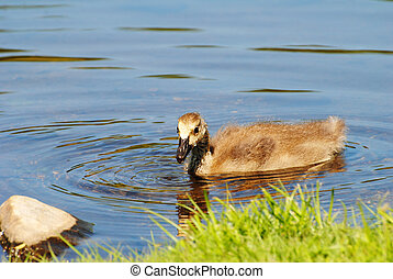 A Young Canadian Gosling