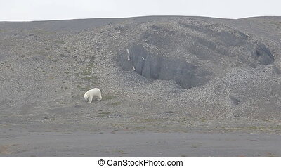 Relevant today: in summer, polar bears remain on Islands and...