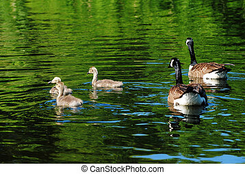 Canadian Geese Swimming