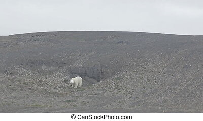 polar bear runs away after shot in his direction from...