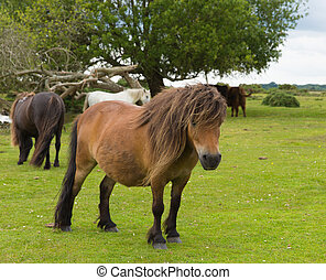 Wild pony New Forest Hampshire uk