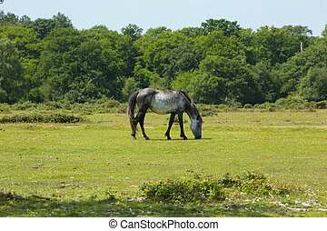 Grey wild pony New Forest Hampshire