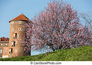 The flourishing plum tree and Sandomierska Tower at the...
