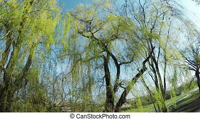 Blossoming willow on nature - In residential quarter of tree...