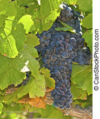 Wine grapes are ripening in the warm coastal vineyards